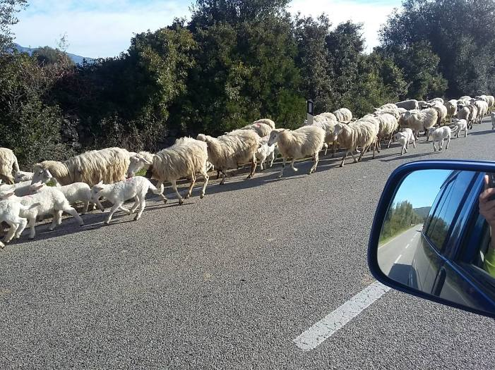 Sur la route, tu croises de tout en Sardaigne... Pas un berger, pas un chien de troupeaux... rien..