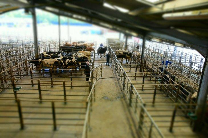 visite du marché aux bestiaux de Guerlesquin